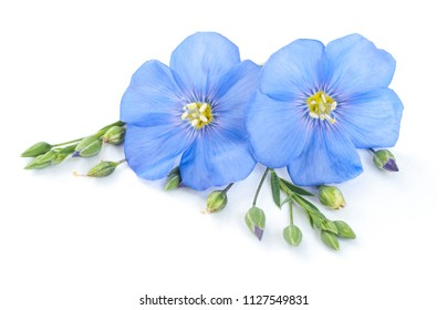 Flax flowers with seeds closeup isolated on white