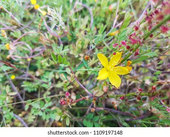 Flax leaved St John's wort, Hypericum linariifolium growing in Galicia, Spain