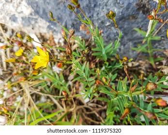 Flax leaved St John's wort, Hypericum linariifolium growing in Galicia, Spain