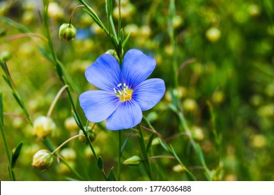 Flax (linseed) flower & flaxseed plant blossom field. Linum usitatissimum or common flax flower, linseed, flaxseed oil crop. Close up of blue flax seed flower in linseed garden. Flaxseed herbal bloom