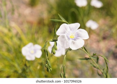 Flax or linum usitatissimum or linseed grey flower with green