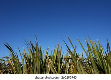 Flax or Phormium against a beautiful blue sky
