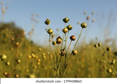 a flax plant with green seeds closeup after blooming in the fields in the countryside in the netherlands