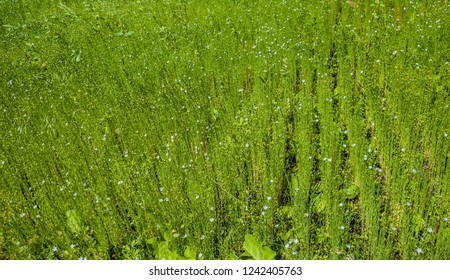 Flax plant on the field (Background, banner, Wallpaper, texture)