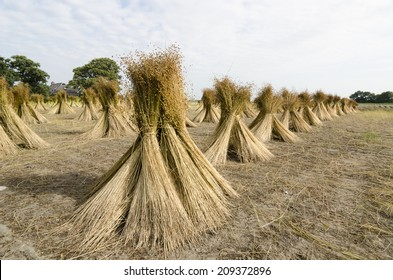 flax sheaf drying on a field