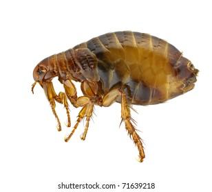 Flea or Human Flea - Pulex irritans isolated on a white background.