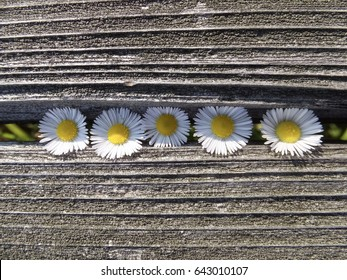 Fleabane of wildflowers in the gap of the old bench board
