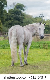 Fleabitten grey horse standing in field looking back at camera