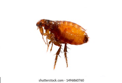 Fleas on a white background close-up. Destruction of parasites in pets. Treatment of premises with insecticides.