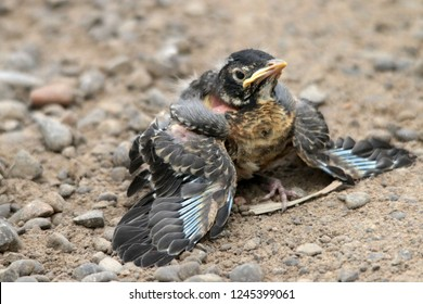 Fledgling Baby Robin on ground