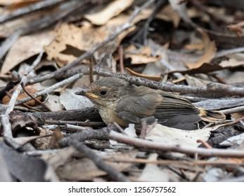 "Fledgling Bird on the Ground. Buff-rumped Thornbill (Acanthiza reguloides) race ""australis"""