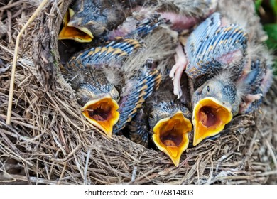 Fledgling chicks Song thrush sitting in nest, life nest with chicks in the wild