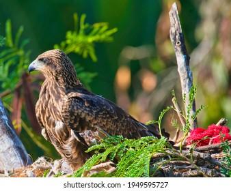 Fledgling Kite in a nest