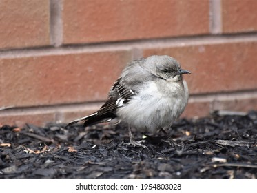 A fledgling Northern Mockingbird waiting to be fed