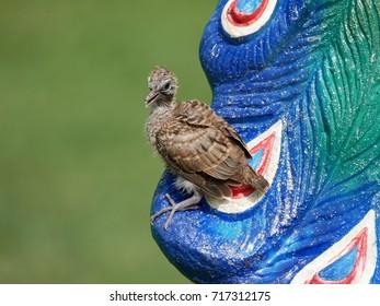 Fledgling Peaceful dove or Zebra dove (Geopelia striata), little baby bird perched on peacock statue in a public park, Thailand.