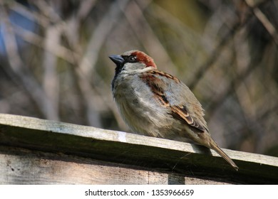 Fledgling sparrow on a fence with fledgling feathers