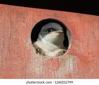 Fledgling Tree swallows