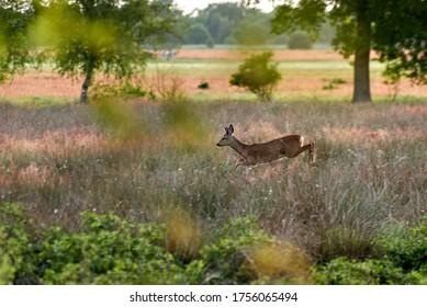 fleeing roebuck jumps through high grass on a natural meadow on a sunny summer evening - sharp head, body in motion
