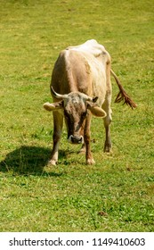 flees pester cow on green grass of alpine pasture, shot in bright summer light at Cainallo Alp, Lecco, Lombardy, Italy