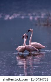 Flemingo at Bogoria Lake Africa