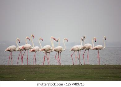 Flemingo Migratory Birds
