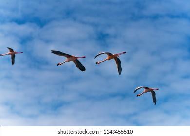 Flemingos at Bogoria Lake Africa