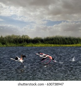 Flemingos take off from abeautiful lake backgrond