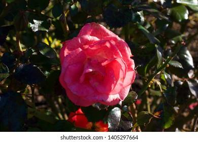 Flemington Racecourse rose, pink rose on bush