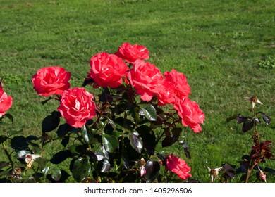 Flemington Racecourse roses, pink roses on bush