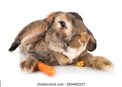 白い背景にフランダースの大きなウサギ