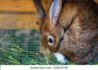 Flemish Giant Rabbit Grooming