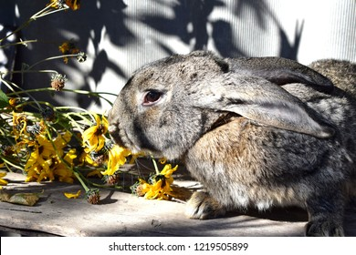 The Flemish Giant rabbit is a very large breed of domestic rabbit, and is normally the largest breed of the species.