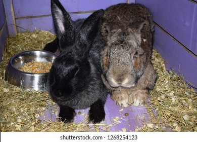 The Flemish Giant rabbit is a very large breed of domestic rabbit, and is normally the largest breed of the species. Flemish giants are a utility breed, and are most commonly bred for fur and meat.