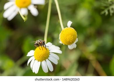Flesh Flies belong to the family Sarcophagidae. Tripleurospermum inodorum, wild chamomile, mayweed, false chamomile, and Baldr's brow, is the type species of Tripleurospermum.