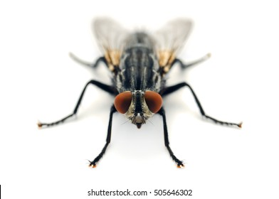Flesh fly on white background.  Photographed in Virginia, USA.