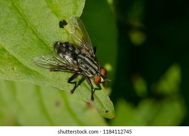 A Flesh Fly perched on a leaf. Todmorden Mills Park, Toronto, Ontario, Canada.