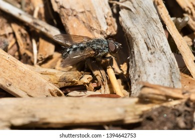 A Flesh Fly resting in the sun on some wood chips. Stan Wadlow Park, Toronto, Ontario, Canada.