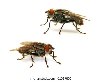 Flesh Fly (Sarcophaga carnaria, 2 positions isolated on a white background)