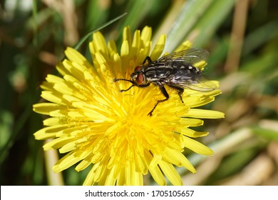 Flesh fly, Sarcophaga. Family Flesh flies, Sarcophagidae. On the flower of Taraxacum officinale, the common dandelion of the family Asteraceae or Compositae. Bergen, Netherlands, April 15, 2020.