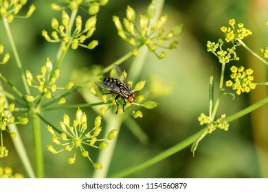Flesh fly sits on flowers of wild parsnip (Sarcophaga carnaria)