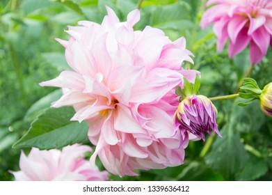Fleur Roses Images Stock Photos Vectors Shutterstock
