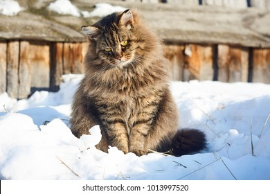 flexion of head full face siberian cat portrait on snow