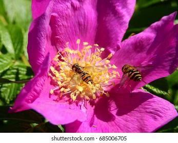 Flies on pink flower
