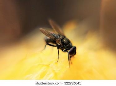 Flies on rotten food