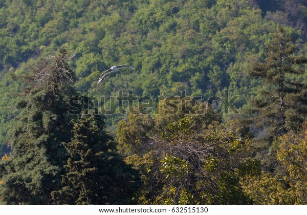 Flight of an albatross against the background of a forest in Abkhazia