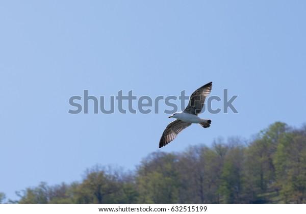 Flight of the albatross against the sky