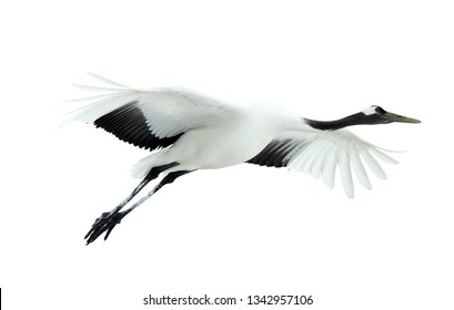Flight of crane. Isolated on white. The red-crowned crane. Scientific name: Grus japonensis, also called the Japanese  or Manchurian crane, is a large East Asian Crane.