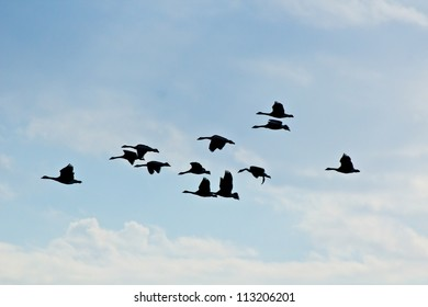 Flight of geese silhouettes in blue sky with white clouds
