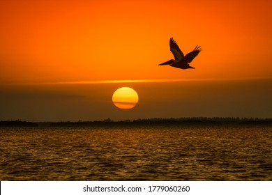 Flight of pelican on sunset background