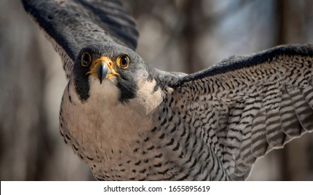 The Flight of the Peregrine Falcon